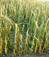 hail-damaged-corn.jpg